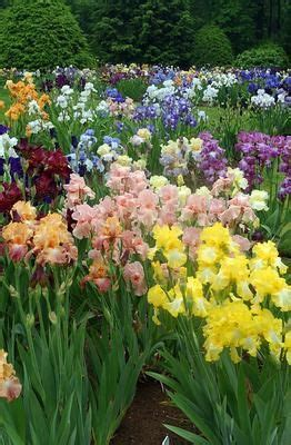 Iris Flower Garden Best 25 Iris Garden Ideas On Bearded Iris Irises And Iris Flowers