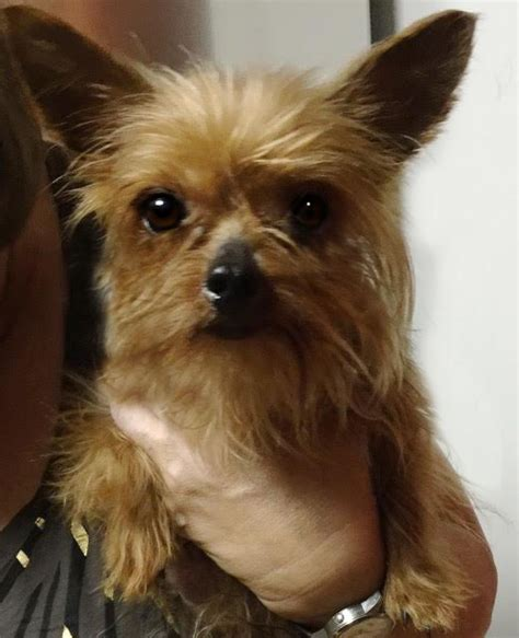 yorkie rescue pittsburgh bitsy boo s web page