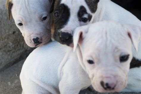 buy pitbull puppies pitbull puppies are you prepared to get one