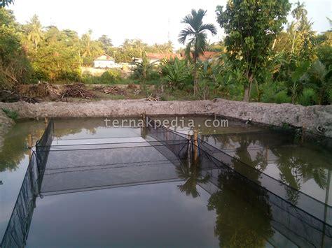 Bibit Ikan Nila Saat Ini persiapan kolam dan air kolam sebelum menebar bibit lele