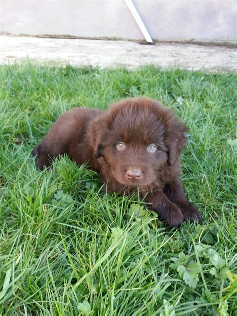 brown newfoundland puppies for sale newfoundland puppies for sale in the uk newfoundland puppies for sale breeds picture