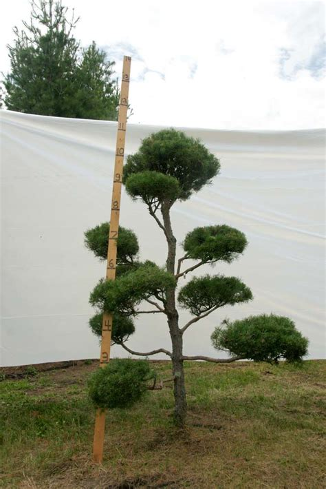 scotch pine topiary 187 scotch pine topiary tree 79 plants beautiful nursery