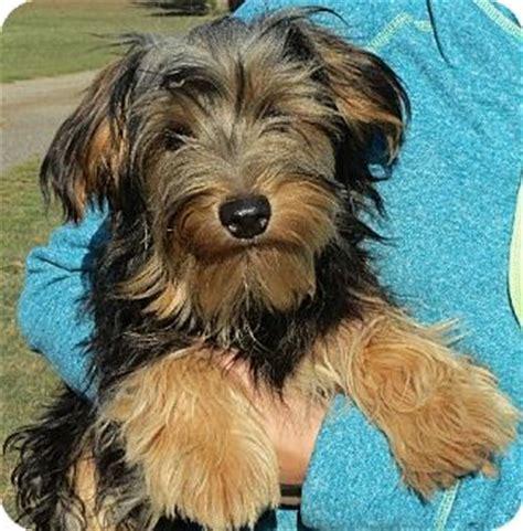 yorkies in ct westport ct yorkie terrier meet severus a puppy for adoption