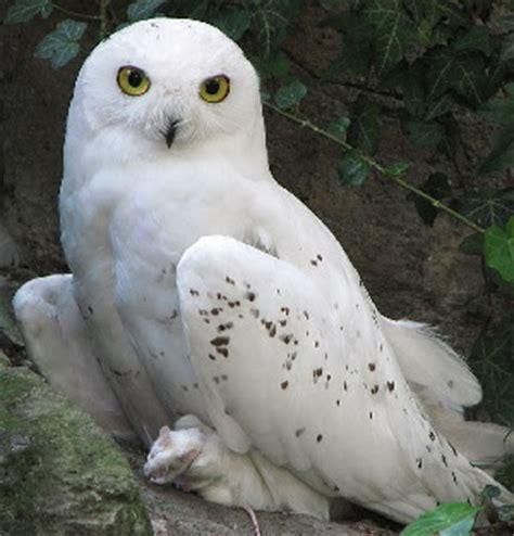 Canon Creative Park Snowy Owl - sexytrailerpark owls