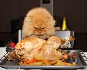 cat dinner meet garfi the cat who looks permanently angry daily