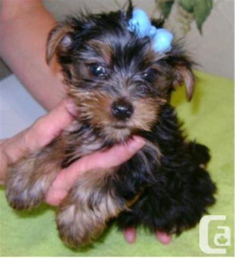 yorkie puppies ontario yorkie puppies available burlington for sale in burlington ontario classifieds