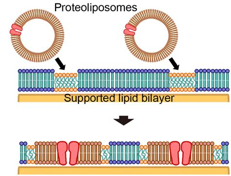 formation  cell membrane component domains  artificial
