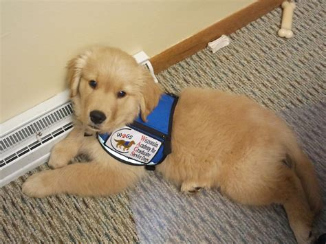 service for dogs donate wisconsin academy for graduate service dogs