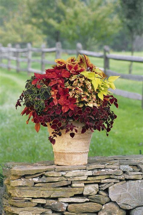 Coleus Planter by Fall Planter Coleus Mix Coleus