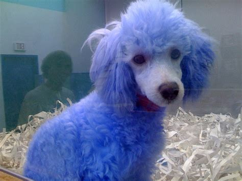 puppy blues where did the term blue democrats come from reflections