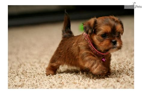 yorkie puppies for sale in sioux city ia yorkie shih tzu breeds breeds picture