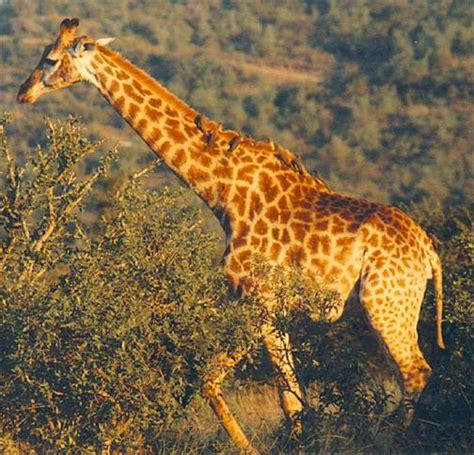 imagenes de las jirafas de darwin la evolucion teor 237 a darwiniana ejemplo de las jirafas de