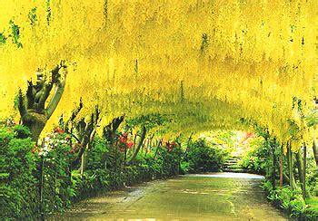 Bodnant Garden Laburnum Arch Snowdon From The Cob