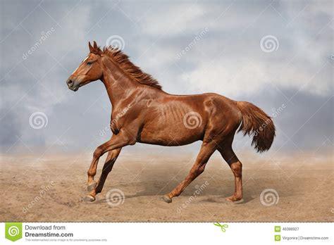 beautiful videos beautiful wild brown horse galloping on sky stock image