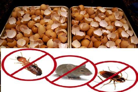 Bubuk Kulit Telur kulit telur uh basmi tikus kecoa dan semut begini