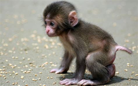 monkey wallpaper baby monkey wallpapers wallpaper cave