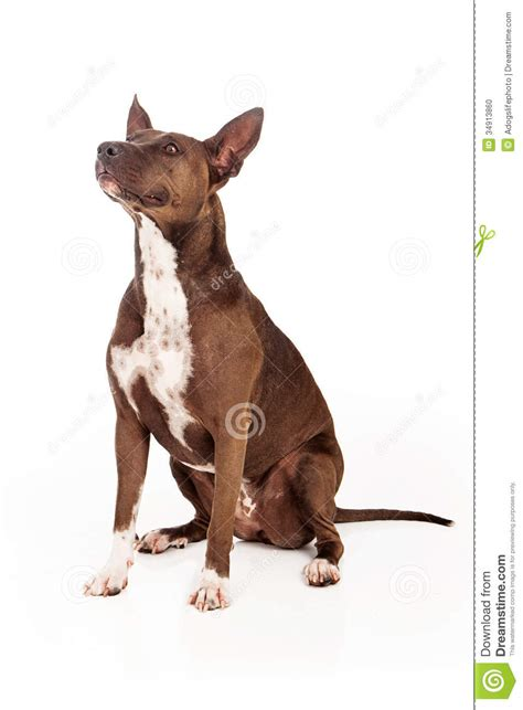 pit bull dog sitting obedient stock photo image
