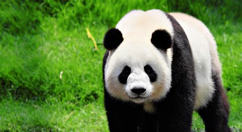 Home Decorating Shows On Tv by Adelaide Zoo Throws A Birthday Party For Their Giant Panda