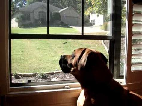 dogs howling at sirens basset hound howling at tornado siren doovi