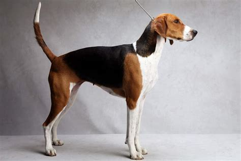 foxhound puppies american foxhound facts temperament puppies pictures