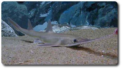 Gergaji Viper cool sharks of the world like the japanese sawshark