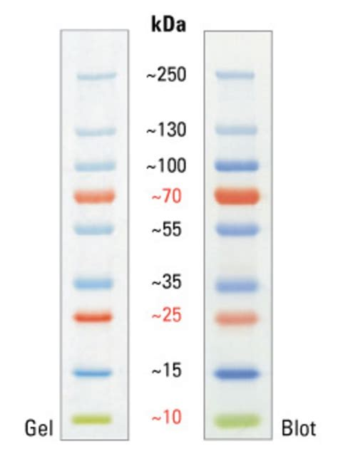 protein ladder pageruler plus prestained protein ladder 10 to 250 kda