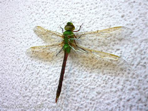 green dragonfly l green dragonfly