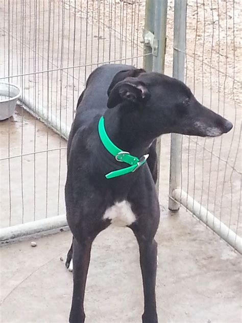 greyhound for sale greyhound for sale birmingham west midlands pets4homes