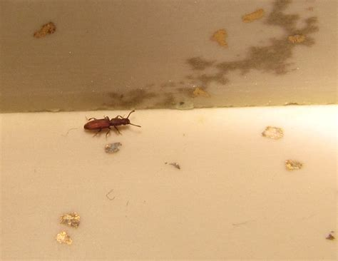 long insects in bathroom bug eric merchant grain beetle