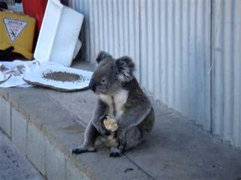 Apple Koala by Sensation Koala An Apple