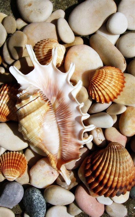 Seashell L by Shells Shells Shells And More Shells