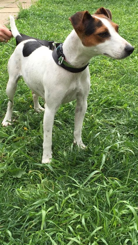 parson puppies for sale preloved parson russel terrier puppies for sale for sale in harrow