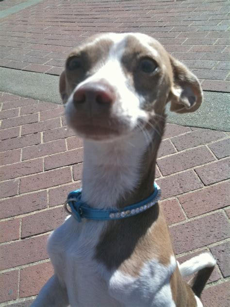 chihuahua italian greyhound mix temperament italian