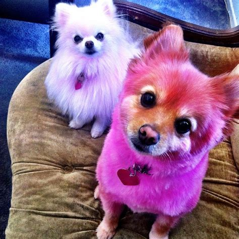 jeffree dogs pomeranian haircuts pictures