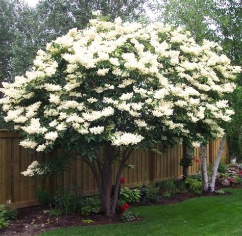 17 best ideas about lilac tree on pinterest lilac bushes