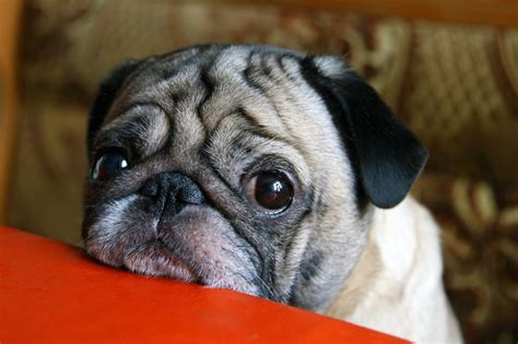pug vomiting and diarrhea how to tell if your pooch has inflammatory bowel disease and what you can do about it