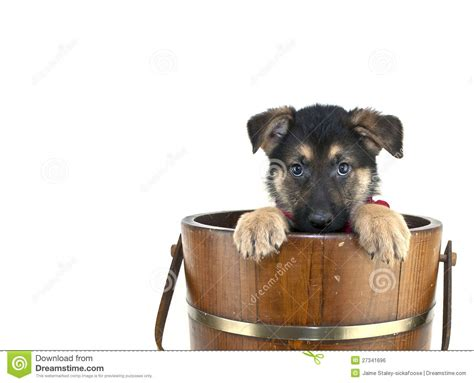 peek a boo puppy peek a boo puppy royalty free stock image image 27341696