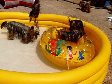 teacup yorkie vs regular yorkie terrier swimming doovi