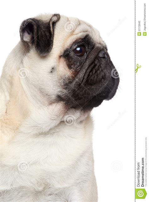 pug side pug side portrait stock photo image of brown animals 27173042
