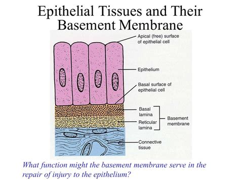 basement membrane epithelium the tissue level of organization ppt