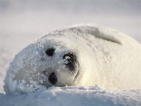 Sea Ls by Harp Seal Animal Interesting Facts Images The