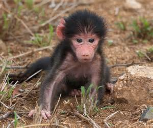 Labels animals pictures baboon adoptions baby baboon