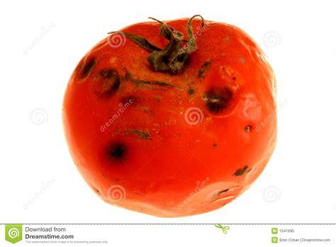 rotten tomatoes rotten tomato 2 stock image image of languish vegetable