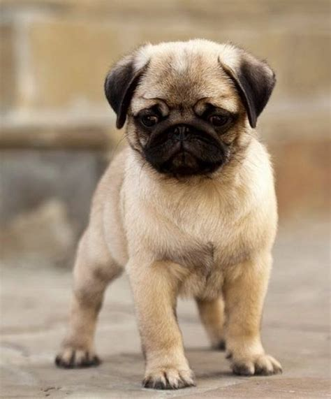 i want a pug puppy puppy and pug puppy i don t care if don t like this of