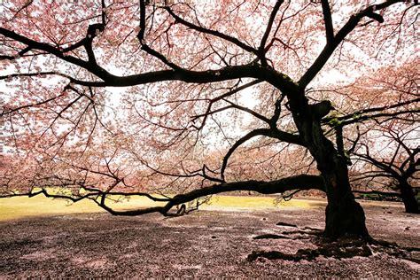 japanese cherry blossom tree spring in japan wonderful wisteria billions of