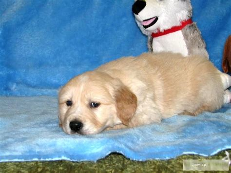 big golden retrievers pin big golden retriever husky mix pictures on