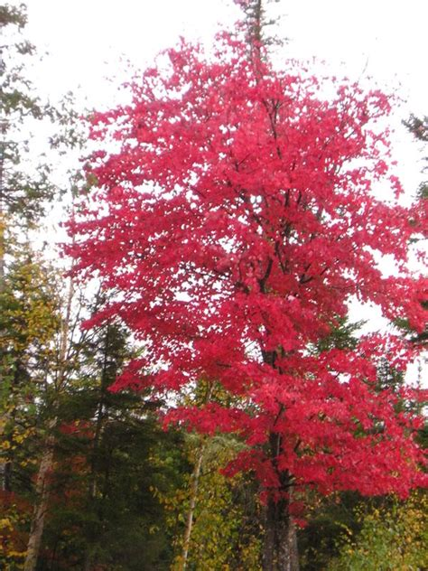maple tree pictures information on the maple tree species