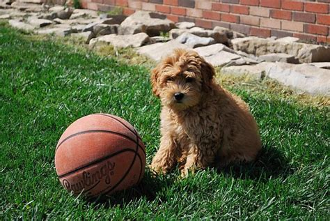mini goldendoodles west virginia 25 best ideas about f1b goldendoodle on