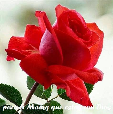 imagenes de rosas para una madre flores para una madre en su dia im 225 genes de reflexi 243 n