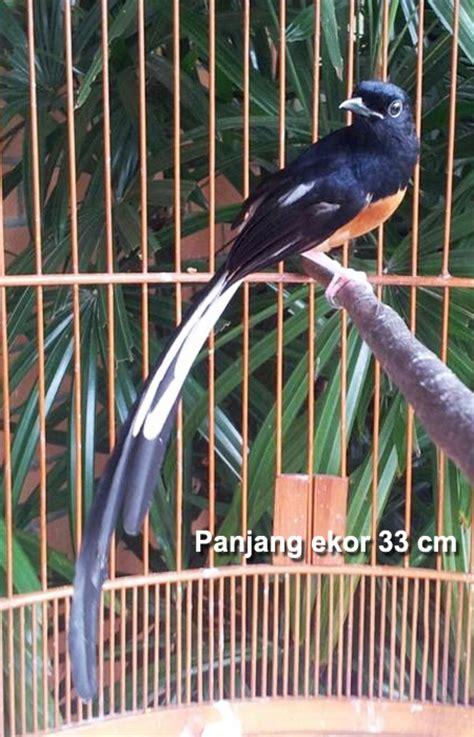 Ternak Murai Batu Medan Asli ini dia ciri khas dari burung murai batu medan ekor